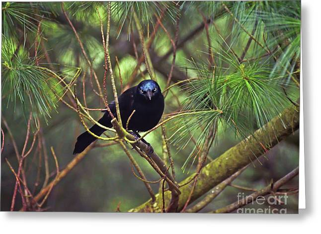 Greeting Card featuring the photograph I Have My Eyes On You - Grackle In The Pines by Kerri Farley
