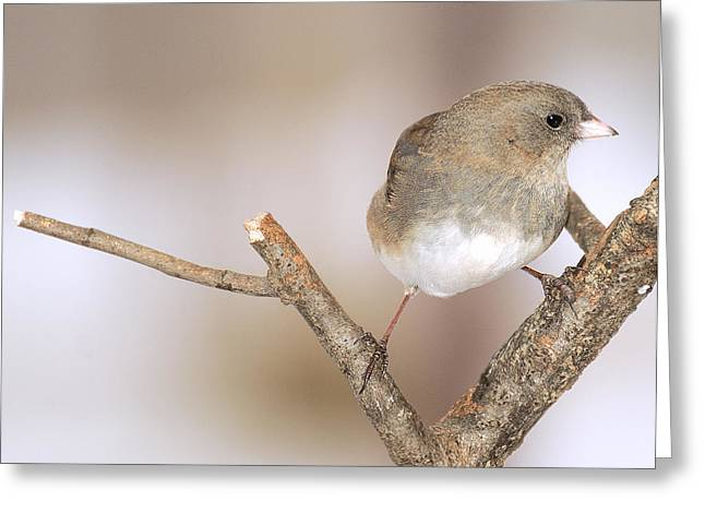 I Junco 2 Greeting Card by Richard Oliver