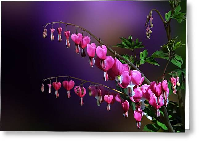 I Love Bleeding Hearts Greeting Card