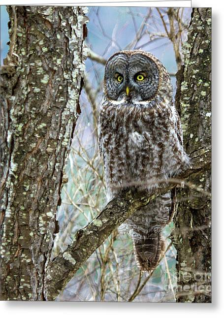 I See It - Great Gray Owl Greeting Card by Lloyd Alexander