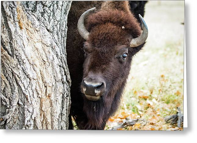 American Bison Peeks Around Tree Greeting Card