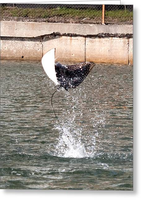 Greeting Card featuring the photograph I Spotted An Eagle Ray by Phil Stone
