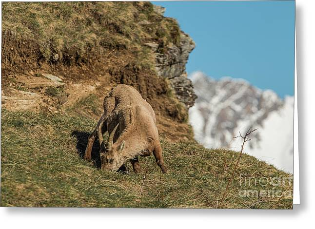 Ibex On The Mountains Greeting Card