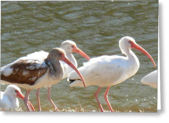 Ibis Flock With Spotted Juvenile Greeting Card