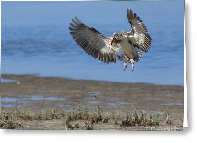 Ibis In Flight Greeting Card by Debbie May
