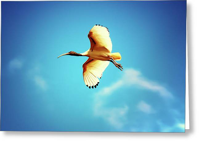 Ibis Of Light Greeting Card