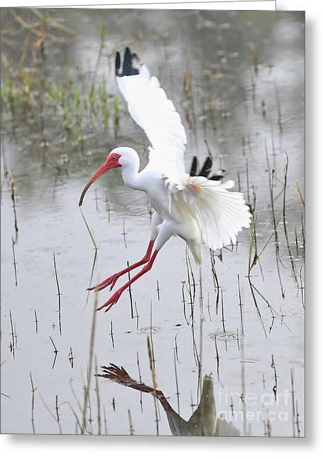 Ibis Soft Water Landing Greeting Card by Carol Groenen
