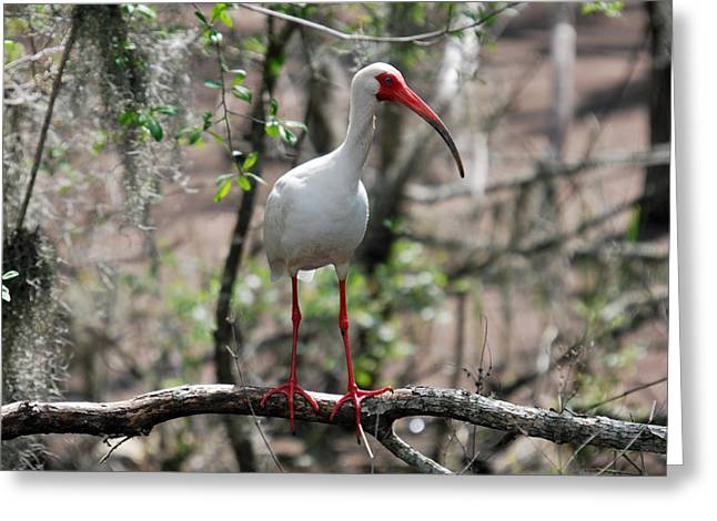 Greeting Card featuring the photograph Ibis  by Teresa Blanton