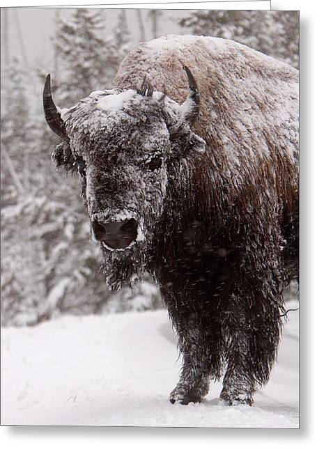 Ice Cold Winter Buffalo Greeting Card