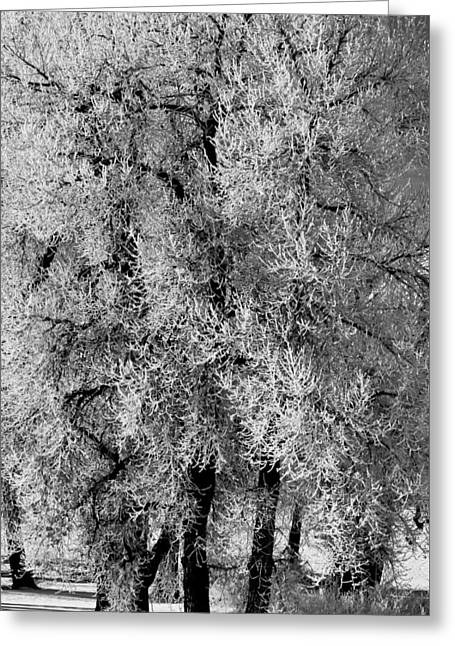 Iced Cottonwoods Greeting Card by Colleen Coccia