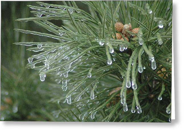 Iced Pine Greeting Card by Kathy Schumann
