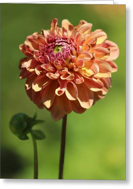 Iced Tea Dahlia In Marzipan And Milano Tones Greeting Card