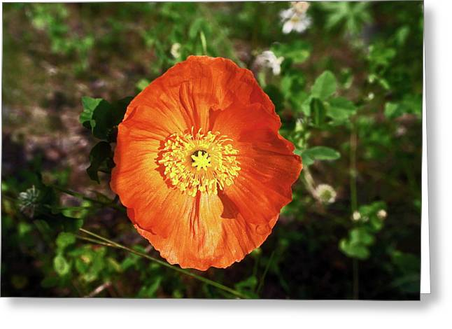 Greeting Card featuring the photograph Iceland Poppy by Sally Weigand
