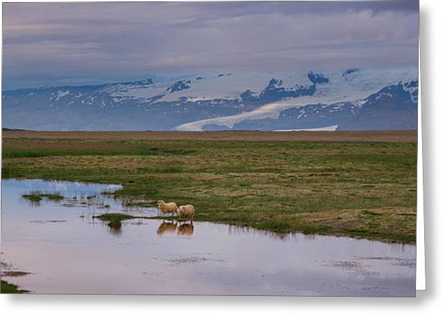 Iceland Sheep Reflections Panorama  Greeting Card