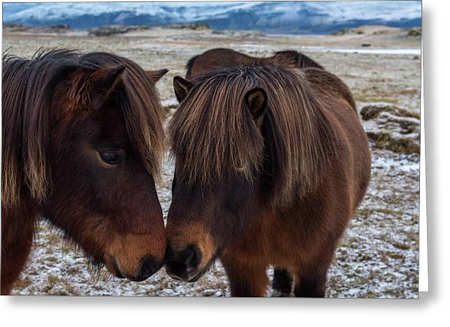 Icelandic Horses Couple Greeting Card by Scott Cunningham