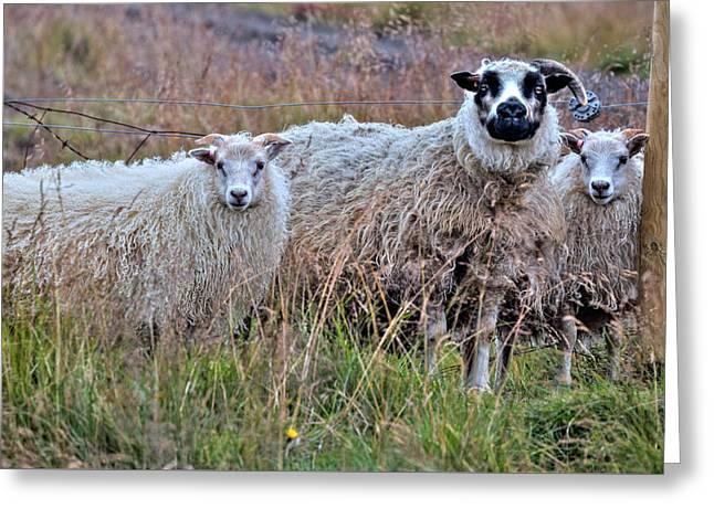 Icelandic Sheep Greeting Card by Joana Kruse