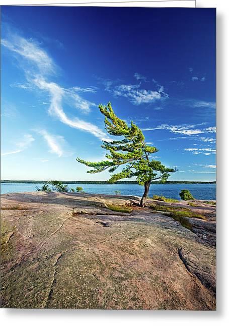 Iconic Windswept Pine Greeting Card