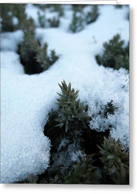 Icy Evergreen Greeting Card