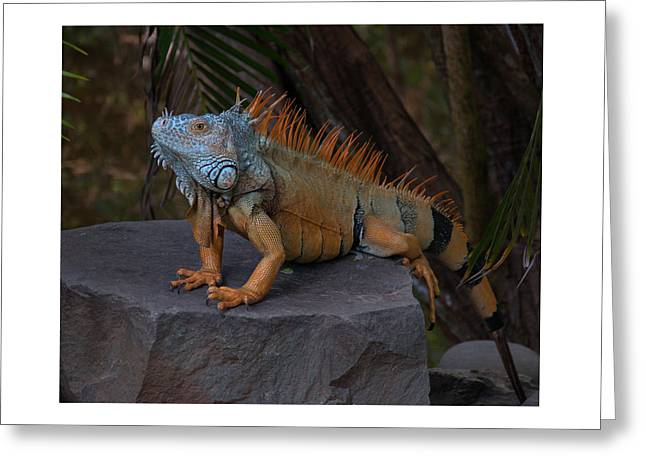 Iguana 2 Greeting Card by Jim Walls PhotoArtist