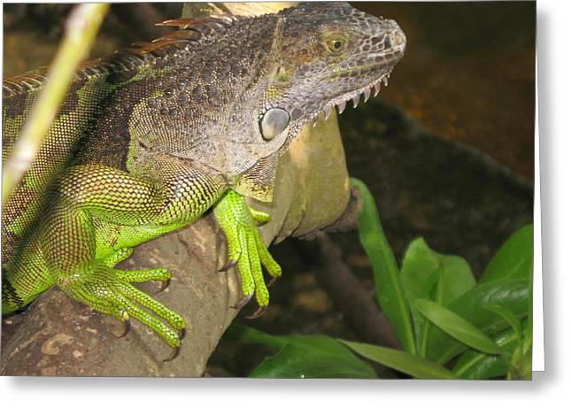 Iguana - A Special Garden Guest Greeting Card by Christiane Schulze Art And Photography