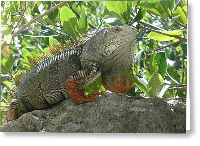 Iguana Daze Greeting Card by Nancy Taylor