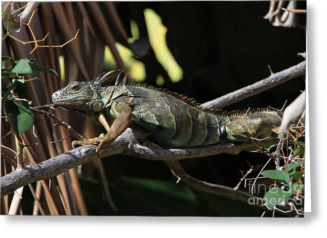 Greeting Card featuring the photograph Iguana by Edward R Wisell