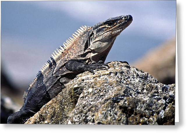 Greeting Card featuring the photograph Iguana by Sally Weigand