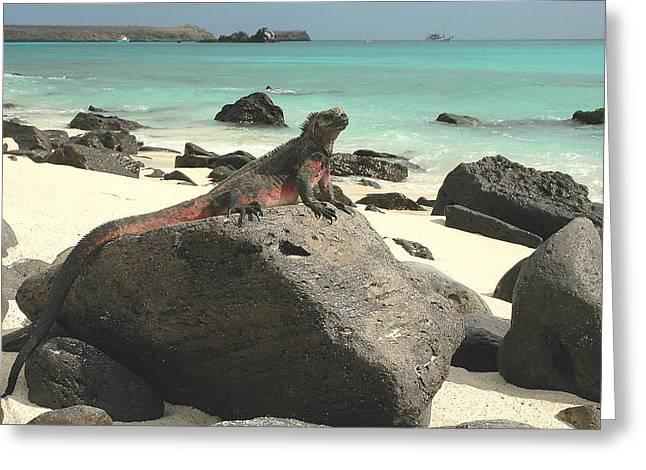 Iguana Sunning Greeting Card by Alan Lenk