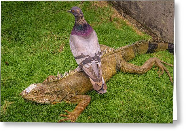 Iguana With Pigeon On Its Back Greeting Card