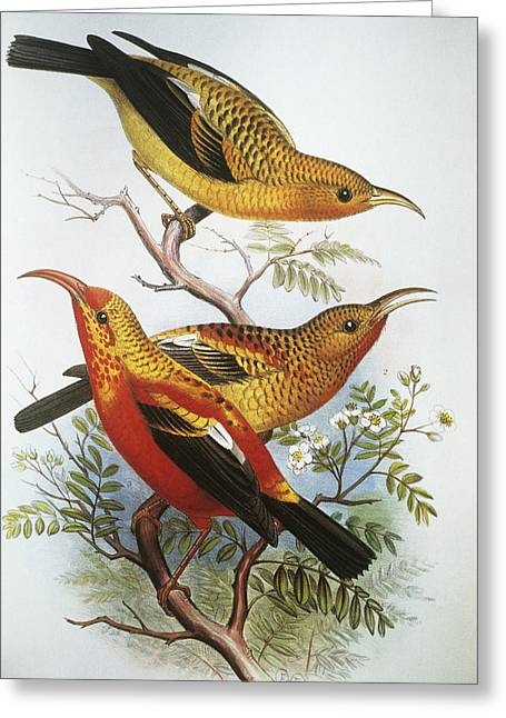 IIwi Greeting Card by Hawaiian Legacy Archive - Printscapes
