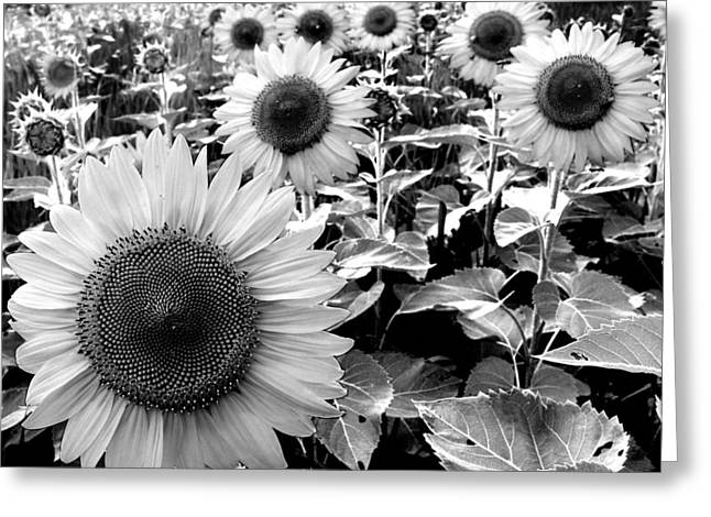 Illinois Sunflowers Greeting Card by Todd Fox