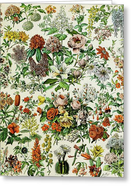 Illustration Of Flowering Plants Greeting Card by Adolphe Philippe Millot