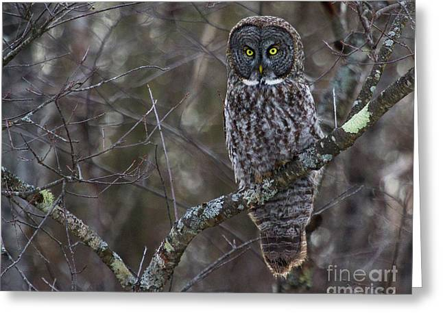 I'm Hungry- Great Gray Owl Greeting Card by Lloyd Alexander