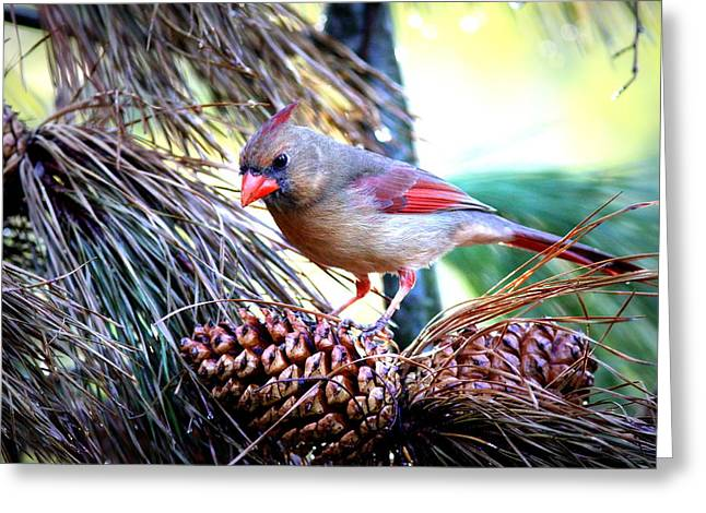 Img_0311 - Northern Cardinal Greeting Card by Travis Truelove