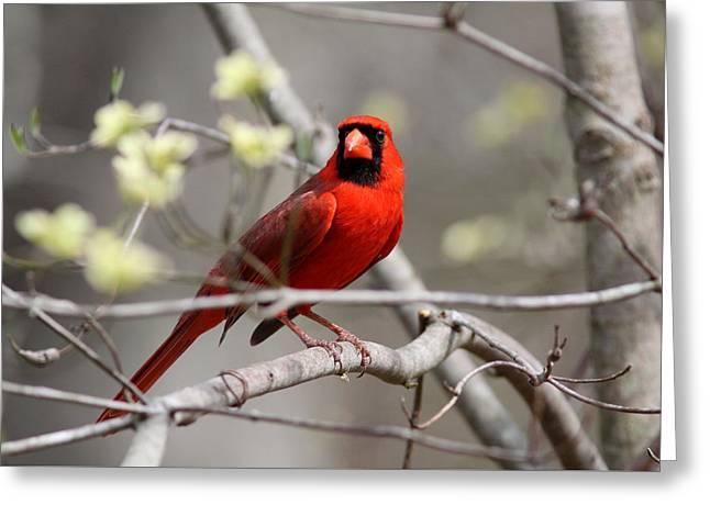 Img_2027-004 - Northern Cardinal Greeting Card