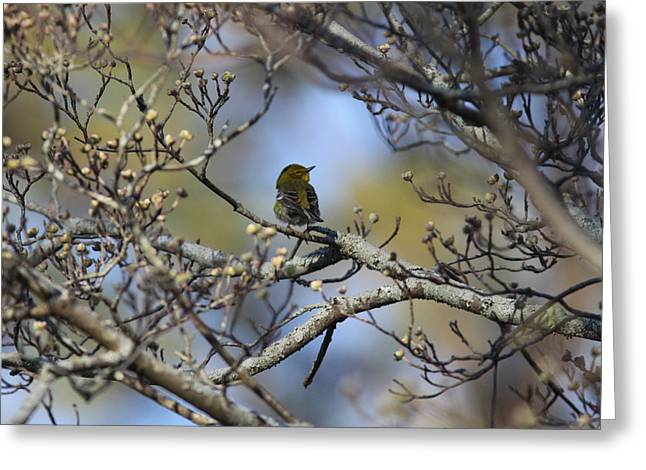 Img_3822-001 - Pine Warbler Greeting Card