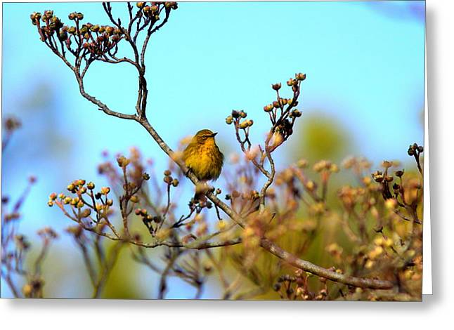 Img_3877-001 - Pine Warbler Greeting Card