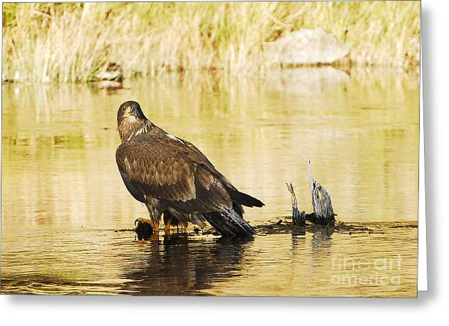Immature Bald Eagle Greeting Card by Dennis Hammer