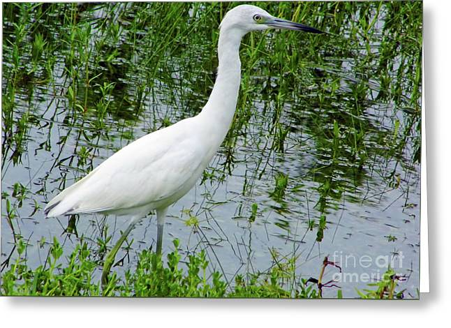 Immature Little Blue Heron Greeting Card by D Hackett