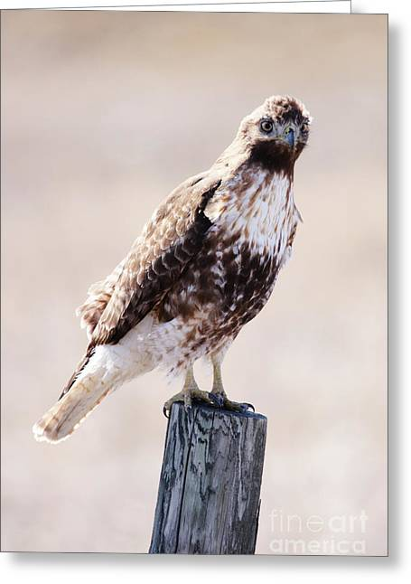 Immature Red Tailed Hawk Greeting Card