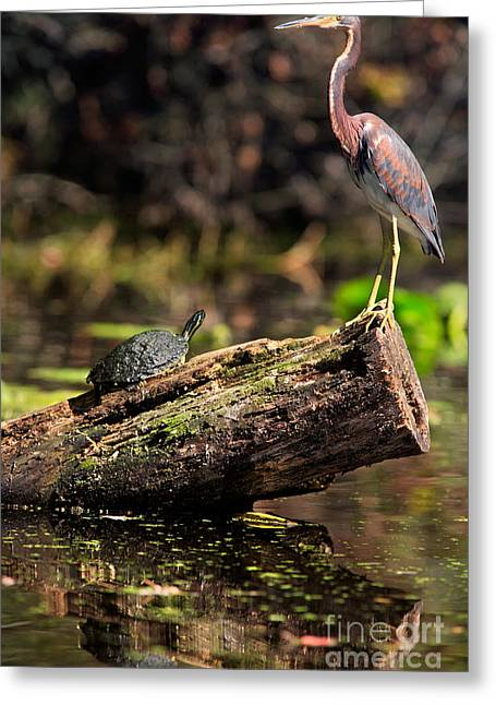 Immature Tri-colored Heron And Peninsula Cooter Turtle Greeting Card by Matt Suess