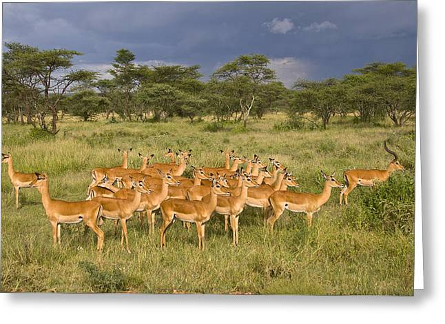 Impala Herd - Serengeti Plains Greeting Card