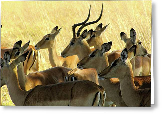 Impalas In The Plains Greeting Card