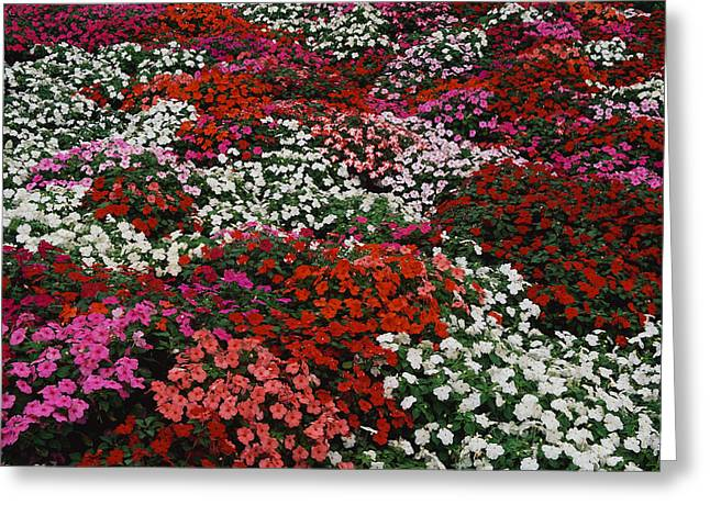 Impatiens Greeting Card by Panoramic Images