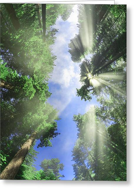 in HIS presence - California Redwoods Greeting Card by Scott Campbell