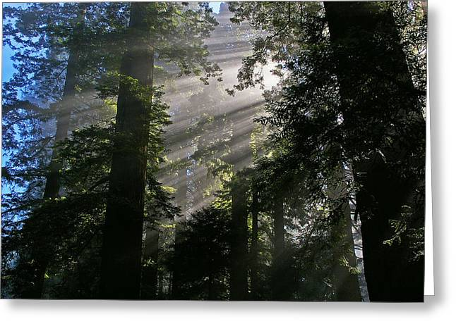 In The California Redwood Forest Greeting Card