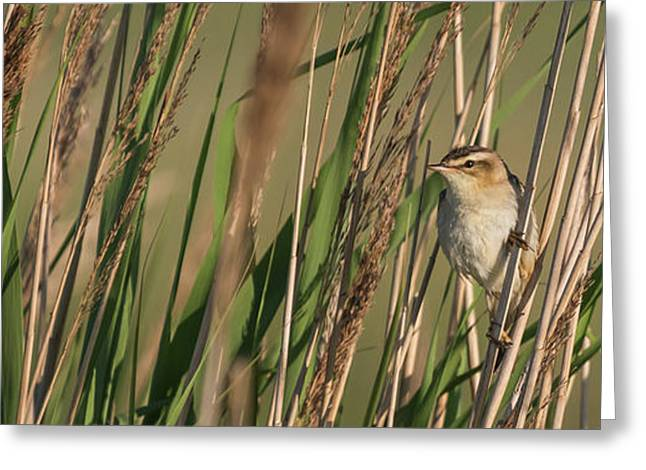 In The Reeds Greeting Card
