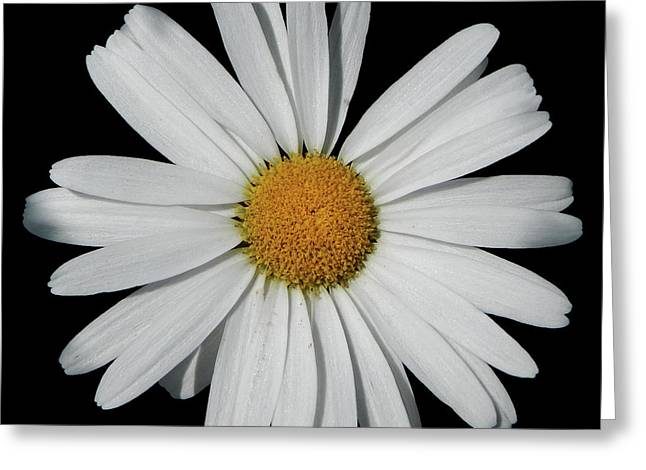 In The Spotlight White Daisy Greeting Card