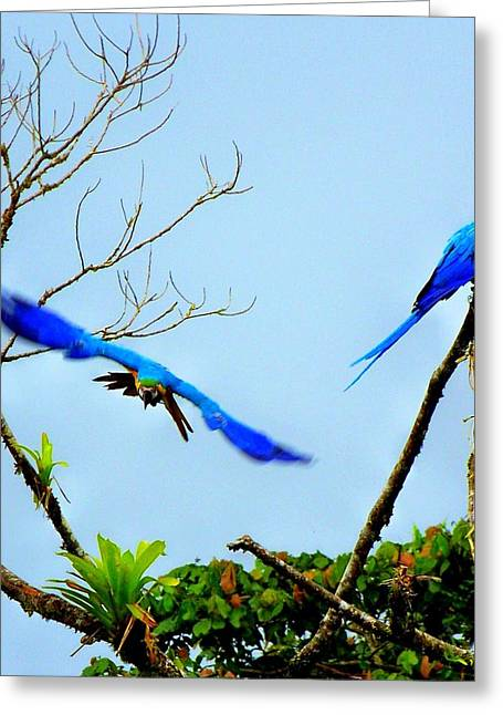 Blue Macaws Greeting Cards - In the Wild Greeting Card by Karen Wiles