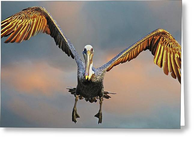 Incoming II, California Brown Pelican Greeting Card